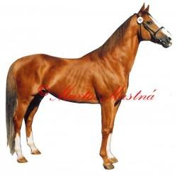 Samolepka anglický plnokrevník, kůň, koně