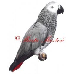 Samolepka papoušek žako