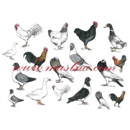 Autorský tisk holubi a drůbež