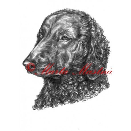 Autorský tisk curly coated retriever, retrívr