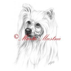 Obraz čínský chocholatý pes, naháč, tužka - tisk