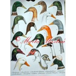 Malby pro německý atlas - kachny