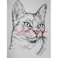 Kočka habešská