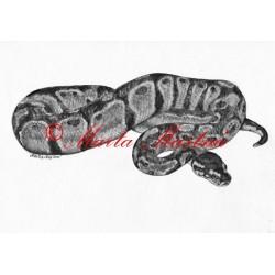 Autorský tisk krajta královská, had