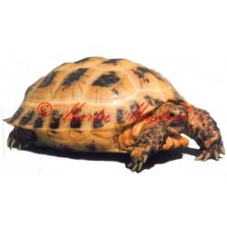 Samolepka želva