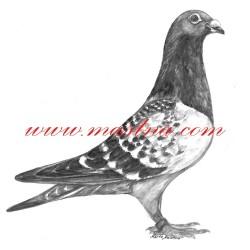 Obraz holub poštovní, akvarel - tisk