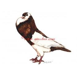 Obraz holub český stavák, akvarel - tisk