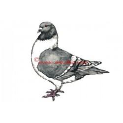 Obraz holub moravský pštros, akvarel - tisk