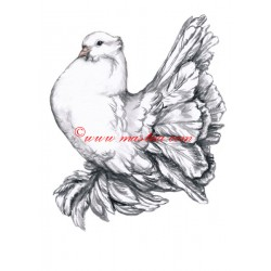 Obraz holub pávík indický, akvarel - tisk