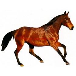 Samolepka anglický plnokrevník Del Lady, kůň , koně