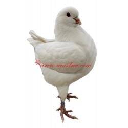 Samolepka holub king