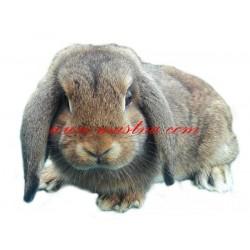 Samolepka králík zakrslý beránek
