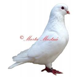 Samolepka holub bílý benešovský