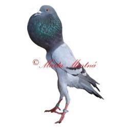Samolepka holub brněnský voláč