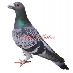 Samolepka holub dragoun