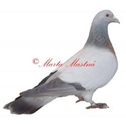 Samolepka holub koburský skřivan