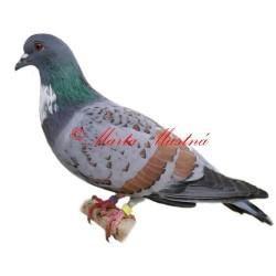 Samolepka holub košoa