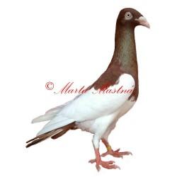 Samolepka holub krakovská straka