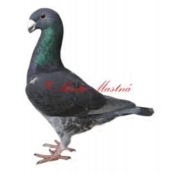 Samolepka holub německý výstavní