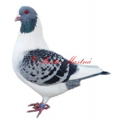 Samolepka holub prácheňský káník