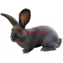 Samolepka králík belgický obr modrý