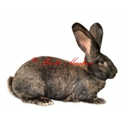 Samolepka králík belgický obr