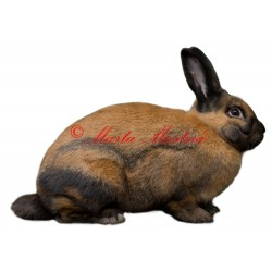 Samolepka králík durynský