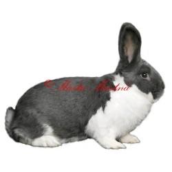Samolepka králík meklenburský strakáč
