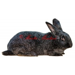Samolepka králík německý velký stříbřitý