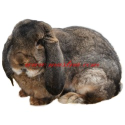 Samolepka králík francouzský beran