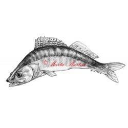 Obraz candát, ryby, tužka - tisk